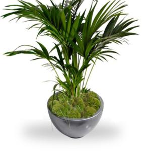 Kentia Palm in Pot