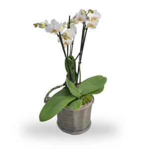 Orchidee Wit met Pot