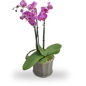 Orchidee Roze in Pot